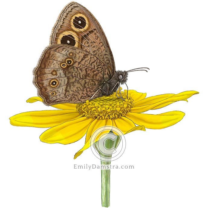 Common wood nymph & Woolly sunflower